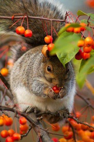 Hoarding Squirrel