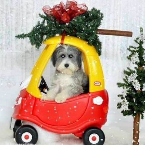 Christmas Decorating Dog