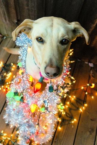 Tangled Lights Dog