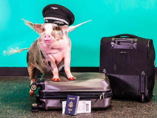 Therapy pig at San Francisco Airport