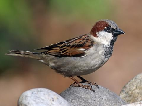 House Sparrow, Cornell Laboratory of Ornithology