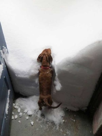 Doxie in the Snow (Image via BuzzFeed)