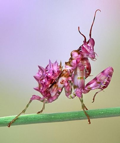 Orchid Mantid (Photo by Bob Jensen)