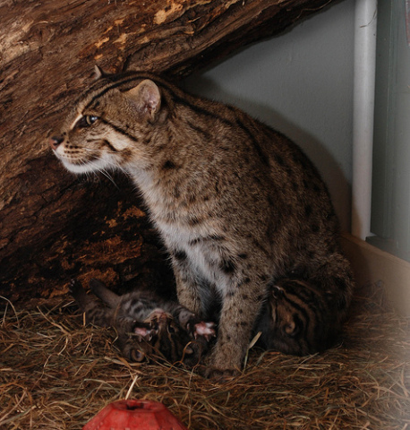 Mother fishing cat, Electra, strikes a beautiful pose: Photo credit: Courtney Janney, Smithsonian's National Zoo