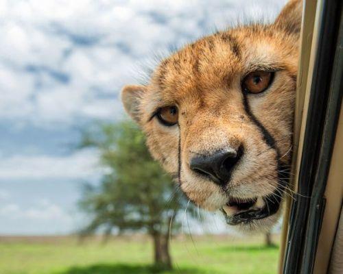 Cheetah, Marc Mol, photographer