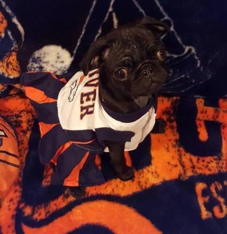 Denver Broncos Cheer Pug
