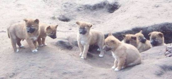 Dingo pups at a Berlin zoo.: image via wikipedia.org