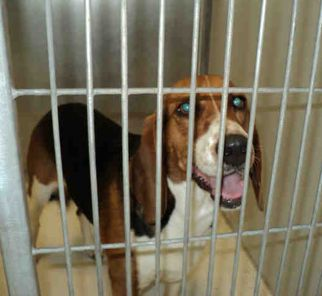 Beagle up for adoption