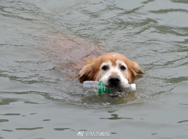 Golden Retriever Goes Green, Retrieves Litter From Polluted Chinese River