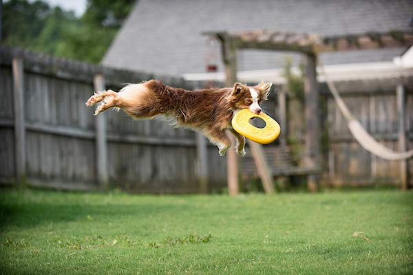 West Paw Zogoflex Air Dash Dog Frisbee Flying Disc Dog Toy