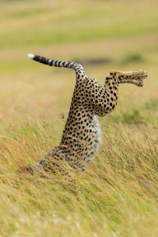 Cheetah, Mohammed Alnaser