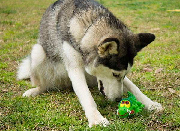 Sensory Crocodile Latex Dog Toy