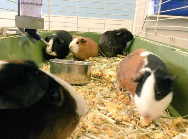 Animal Rescue Refuge Uses Artificial Intelligence To Name 9 Guinea Pigs