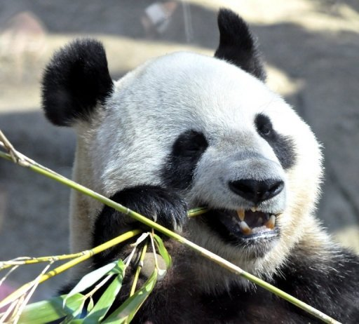 Shin Shin munches on bamboo lunch: image via AFP/File, Yoshikazu Tsuno