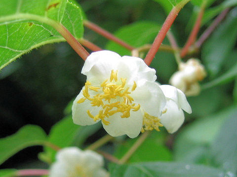 Actinidia polygama (also known as silver vine, cat powder and matatabi)