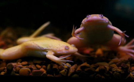 African Clawed Frog (Photo by Muffet/Creative Commons via Wikimedia)