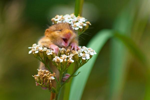 ndrea Zampatti, The laughing dormouse