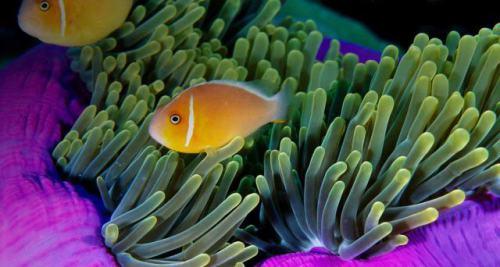 Anemone and Pink Anemonefish