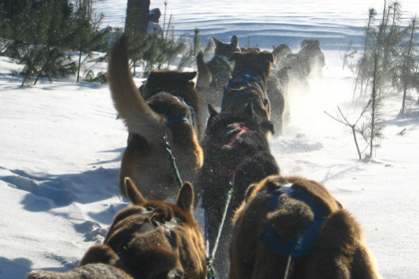Dog Sledding: Animal friendly hotels like the Gunflint Lodge offer dog sledding adventures