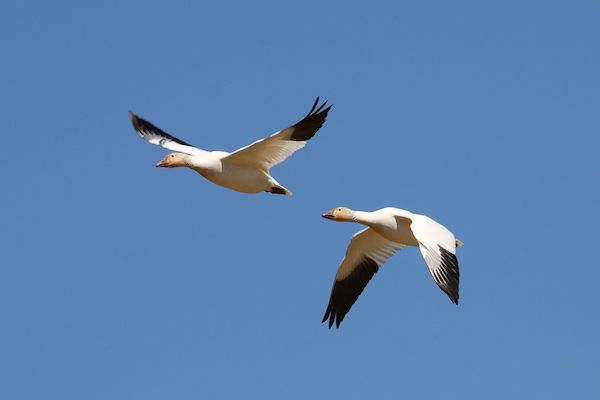 Snow geese in flight By Cephas