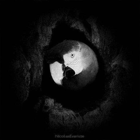 Ara Macao by Evariste: A parrot hiding out. Parrot art by Evariste