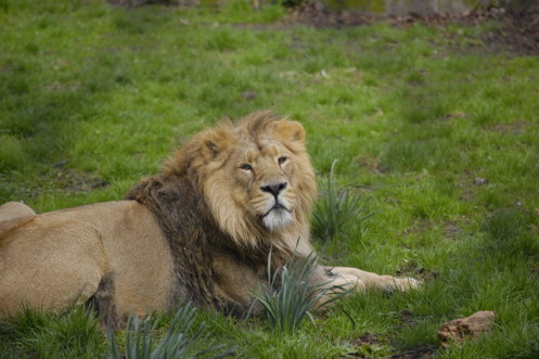 Asiatic lions at the zoo in Delhi, India, have benefited from homeopathic treatment