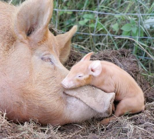 Mama and baby pig