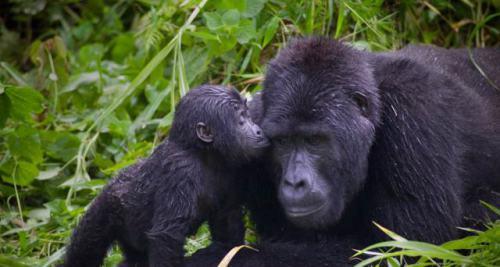 Mountain Gorilla & Son