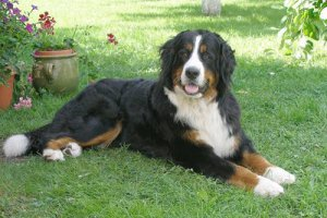 Bernese Mountain Dog: image via dogbreedinfo.com