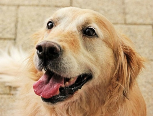 Golden Retriever Lifetime Study May Hold Answers To Canine Cancer
