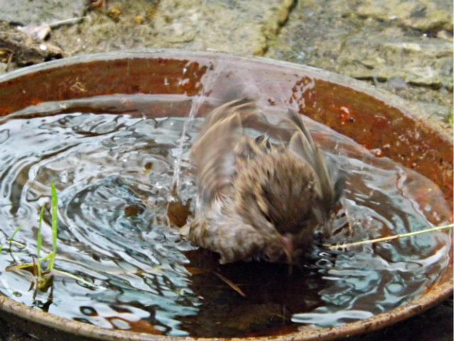 Birds in the Wild Splash Water on Themselves: Bird bathing in bird bath