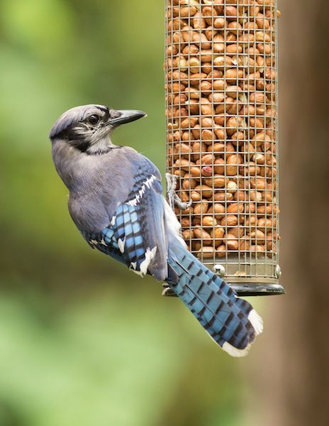 Blue Jay eating nuggets from suet feeder