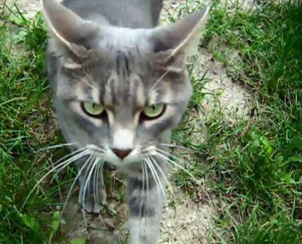 One In A Brazilian Jean Grey Our Neighborhood Brazilian Shorthair Cat Petslady Com
