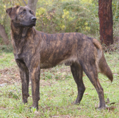 Brindle Dog (Photo by Küchenkraut/Creative Commons via Wikimedia)
