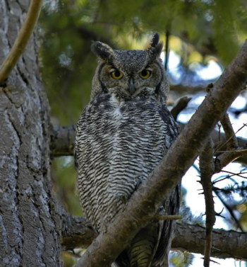 Great Horned Owl (Bubo virginianus) is a fearsome bird of prey