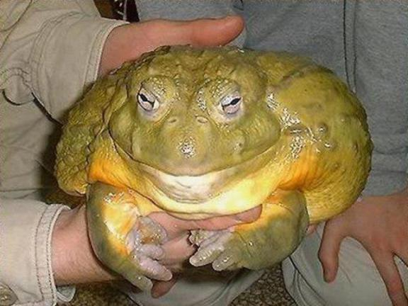 Bullfrog (Image via ScienceDump)