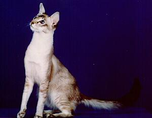 The Javanese Cat