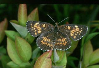 Harris' Checkerspot is threatened by deer overpopulation