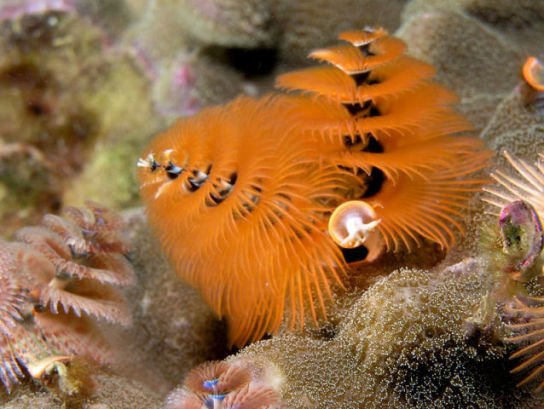 Christmas Tree Worm (Photo by Nhobgood/Creative Commons via Wikimedia)