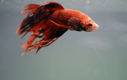 Classic Red Betta (Photo by shaundynamic/Creative Commons via Flickr)
