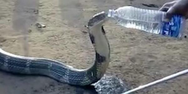 Thirsty Thankful Cobra Drinks Direct From Villager's Water Bottle