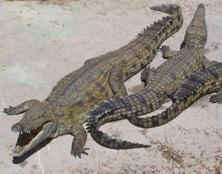 Crocodiles (Photo by Dewet/Creative Commons via Wikimedia)