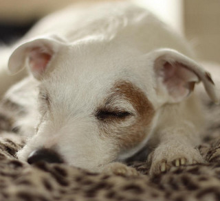 Cute Dog Sleeping: Image by iCanfoto, Flickr