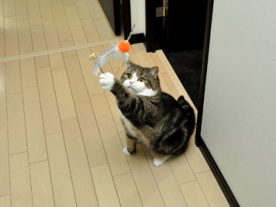 Cat playing with Da Bird: image via lovemeow.com