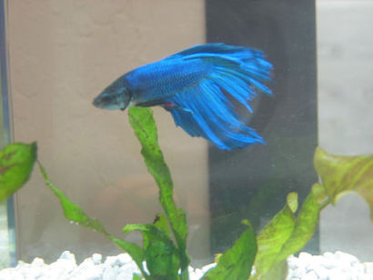Deep Blue Delta Tail Betta (Photo by Patrick Ellis/Creative Commons via Flickr)