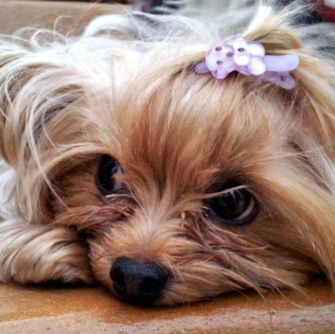 Pet Accessories for Dogs: Rhinestone collars, fancy barrettes & doggy outfits for Valentine's Day