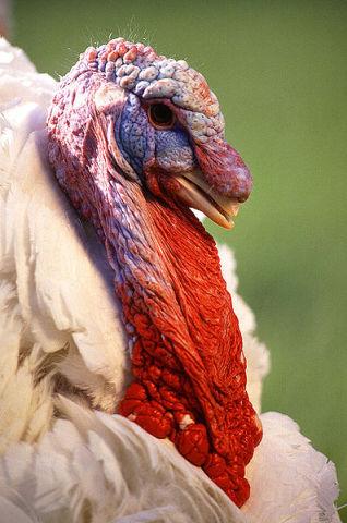 Domesticated Turkey (Public Domain Image)