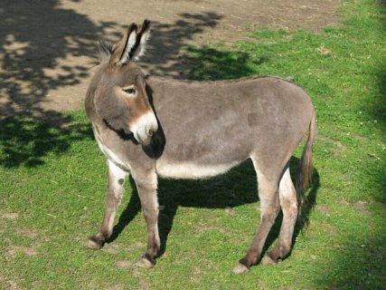 Donkey (Photo by Dixi/Creative Commons via Wikimedia)