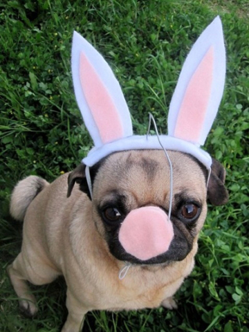 Little Bulldog in Easter Bunny Costume: Source: HerCampuslife.com