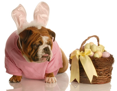 Bulldog and Easter Basket: Source; Hercampuslife.com